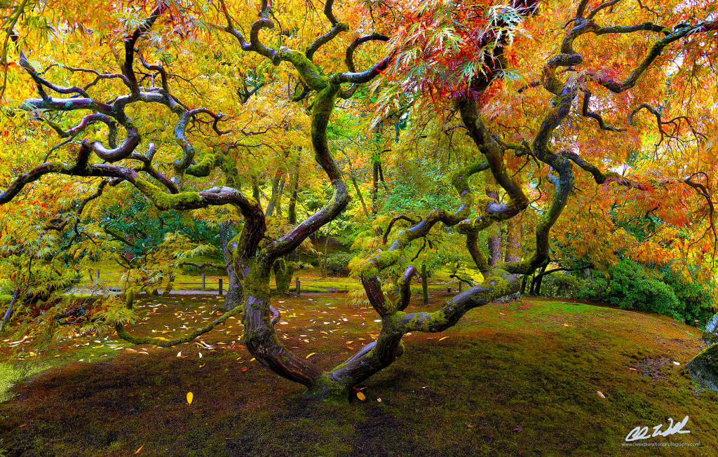 japanesegardenmaple-1024x652.jpg